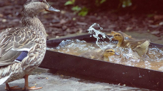 It's bath time for the ducklings, who dive into shallow water trays and whip up the water surface.