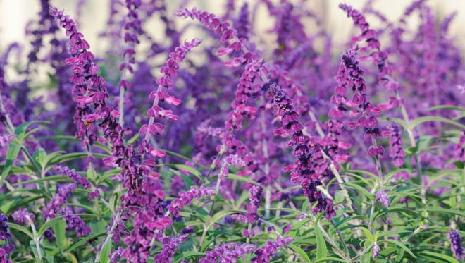 Allow for plenty of space for the showy Mexican Bush Sage to take off every spring.  Reaching four feet tall and wide, this rounded shrub has narrow long fuzzy leaves that are a muted green-gray color.  Rich purple flowers cover the perimeter of the salvia late spring through fall.  A great addition to cut flower arrangements