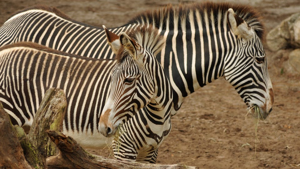 The Brevard Zoo in Viera now has two mare Grevy's zebras.