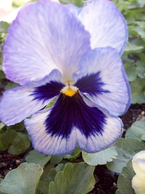 April is the start of the outdoor gardening season for much of Wisconsin. Many gardeners are already brightening their yards and gardens with cold hardy annuals like pansies and violas.
