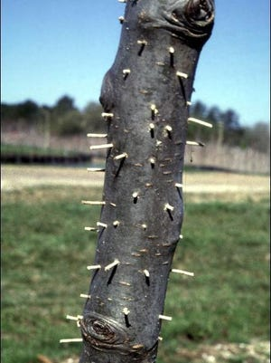 If you observe toothpick-like protrusions from your trees, you have found evidence of the Asian ambrosia beetle. And once you see this damage, the plant is a goner.