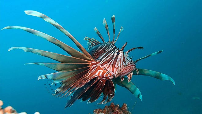 Lionfish have thrived in the waters off Florida since they were first dumped by aquarium collectors in the mid-1980s.