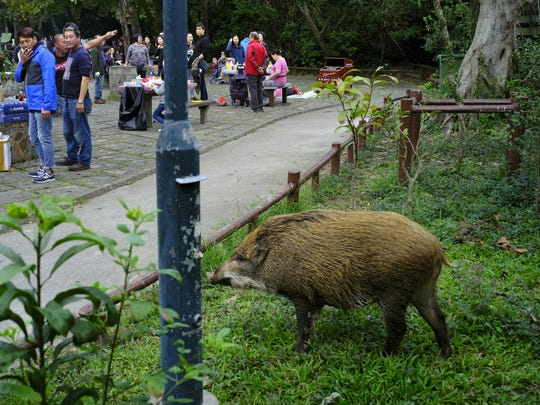 Hong Kong Wild Boar Dilemma (2)