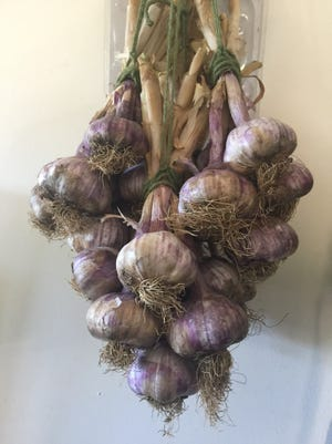 Select and store the best bulbs from this year's harvest for planting next year.
