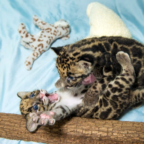 Clouded leopards cubs, born June 9, 2014, wrestled and played during a recent photo shoot at the Houston Zoo. The boy cubs, Koshi and Senja, are currently thriving behind the scenes. The darling duo will make their first public appearance this fall.