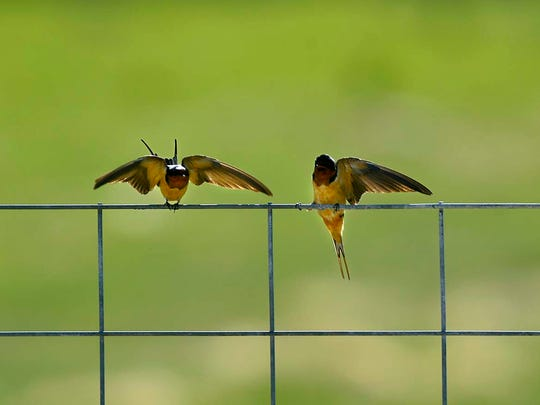 Barn swallows land on a garden fence at the American Prairie Reserve's Enrico Education and Science Center north of the Missouri River and Charles M. Russell National Wildlife Refuge in northeastern Montana.  Through private funding and land leases with the BLM, the American Prairie Reserve has created a 31,000 acre bison range for their herd, which is expected to top 500 animals this year.