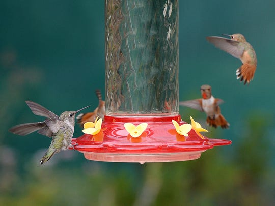 Hummingbirds gather around a hummingbird feeder filled with sugar water in a backyard.