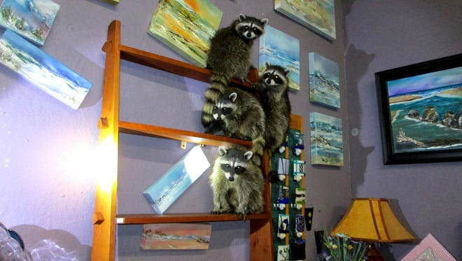 Four raccoon found in a Newport art gallery.