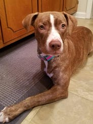 Bella Roo is a 1.5-year-old, spayed female pit bull