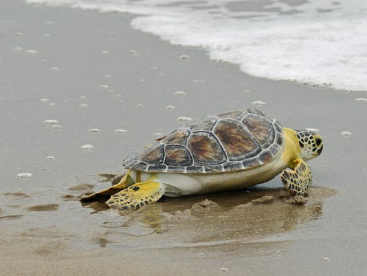 Steve the sea turtle released back to the ocean