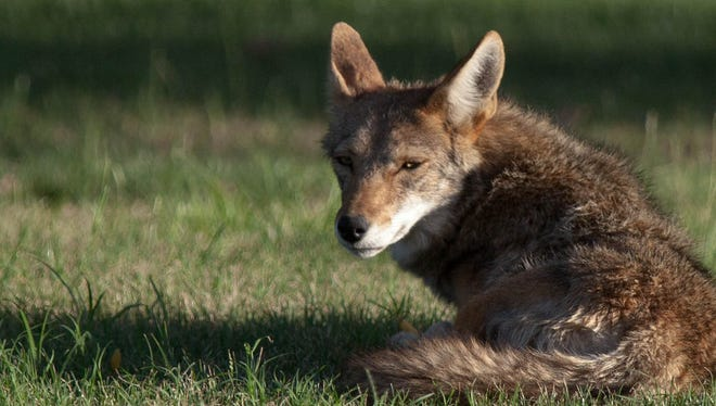 An urban coyote at his leisure