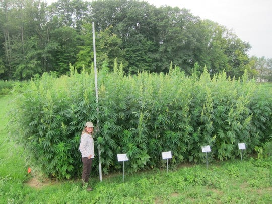 Hemp plants can grow to seven to eight feet tall. The Ithaca crop in this photo was harvested to be used for their fibers.