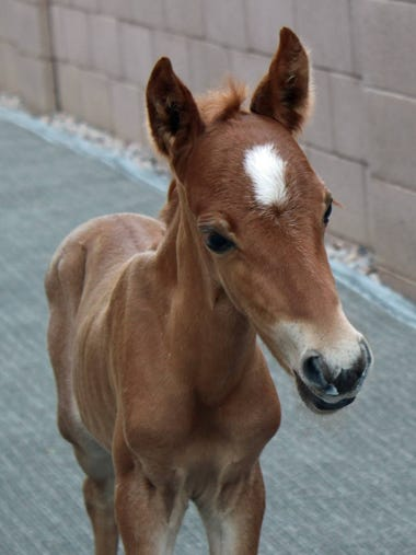 An abandoned foal was found July 1, 2018, overheated,