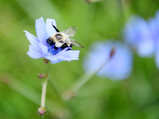 A bee lands on a wildflower Aug. 11 near land that