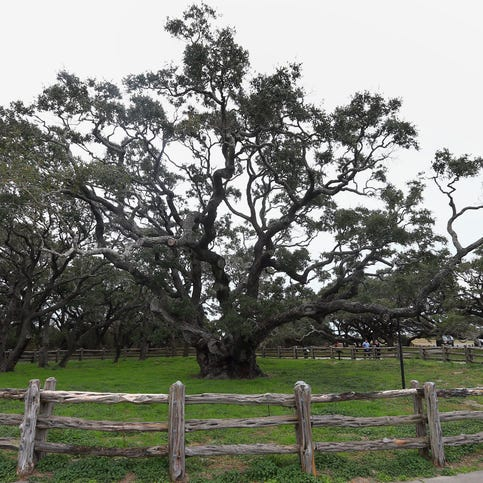 Here's how you can help The Big Tree at Goose Island State Park in Rockport