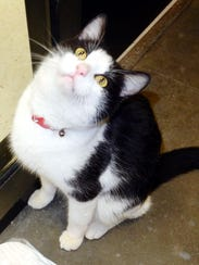 Elvis is a 7-month-old, neutered-male tuxedo. He is