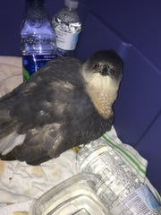 The hawk was kept warm by bottles of warm water in a plastic box.