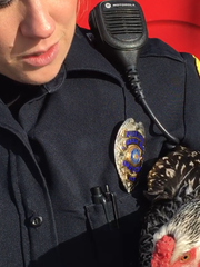 Green Bay Police Officer Mallory. Meves with a chicken
