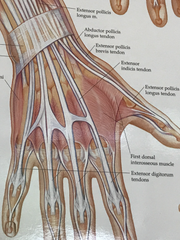 The hand and wrist contain a total of 31 bones.