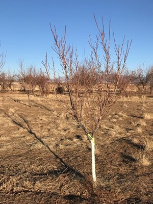 The white paint on this small peach tree at the NMSU Agricultural Science Center at Los Lunas may help protect its bark from extreme heat and cold.