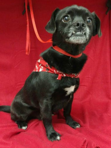 Harold is a social, 5-year-old pug and beagle mix who