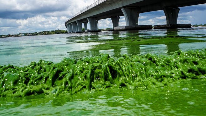 Water full of algae laps along the Sewell's Point shore on the St. Lucie River on Monday, June 27, 2016.