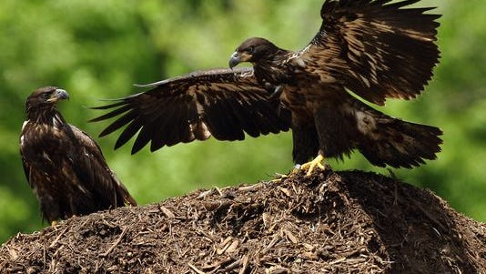 Two of Decorah's eaglets have settled on this large compost pile.