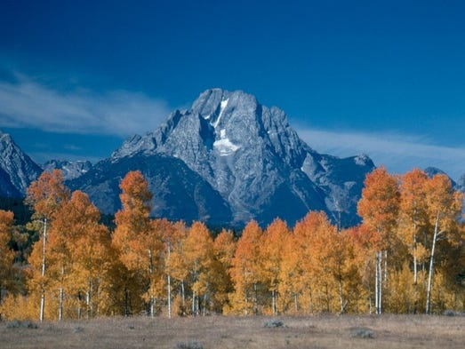 Thick forests of quaking aspen stand out for their