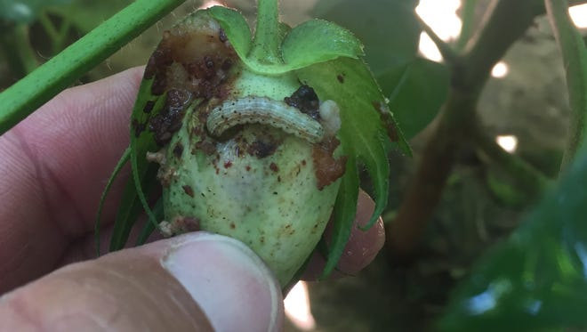 Bollworm in cotton boll.