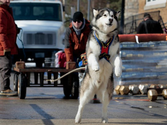 Monty, an Alaskan malamute, stretches on his hind legs to pull a 450-pound weight while his owner, Matt Sautbine of Elkhorn, encourages him during a dog weight pull competition during at a past Cedarburg Winter Festival.