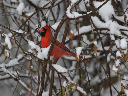 cardinal in the snow