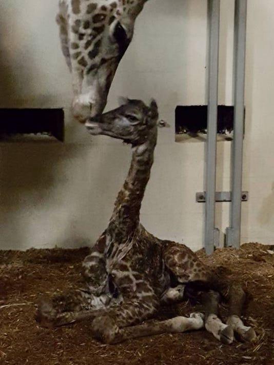 635900366111628250-baby-giraffe.jpg
