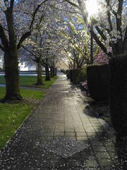 June Starkey framed this moody shot of cherry blossoms blooming at the Oregon State Capitol.