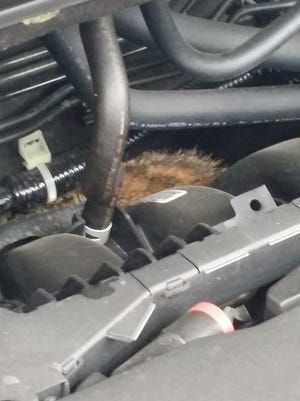 Carolyn Cyrus didn't expect to find a groundhog in the engine of her Honda on Tuesday night. He left on his own, but apparently chewed some wires on her 2015 Honda CR-V before he left.