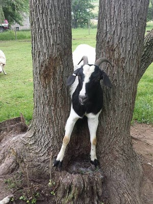 A goat tried to jump between two tree trunks earlier this year, and Keith Carbaugh of the Franklin County Animal Response Team helped free the animal.