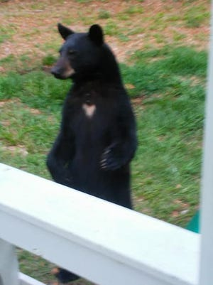 An approximately 2-to-3-year-old male black bear weighing about 200 pounds visited Tracy Russell's Navarre home on Saturday, April 21, 2018. The bear, that was eventually scared off by a Florida Fish and Wildlife Commission law enforcement officer after a 12-hour stay, was likely attracted by unsecured garbage at Russell's home.