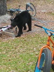 A male black bear estimated to be about 2 to 3-years-old
