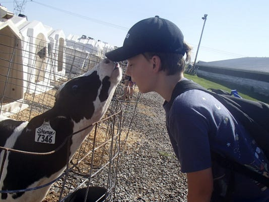 Luke Ferguson interacts with a cow during Ag Explorers Day Camp.