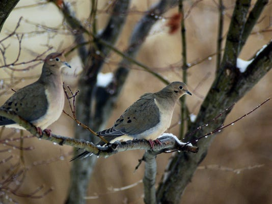 A pair of doves rest in a tree. Hunting season for the speedy birds begins Sept. 1.