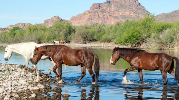 Wild horses on the Salt River.