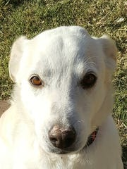 Angel is a white Labby blend who will give kisses Saturday at 'Santa Paws' event, at White Sands Mall.