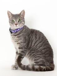 Chloe, a 1-year-old female domestic shorthair cat.