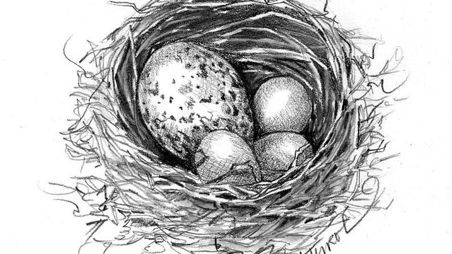 Cowbird eggs in a nest.