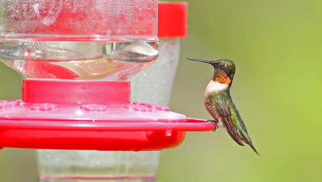 The ruby-throated hummingbird is among the stars of the hummer fleet now in Rockport.