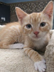 Cupid, is a red (orange) male kitten available at Wichita