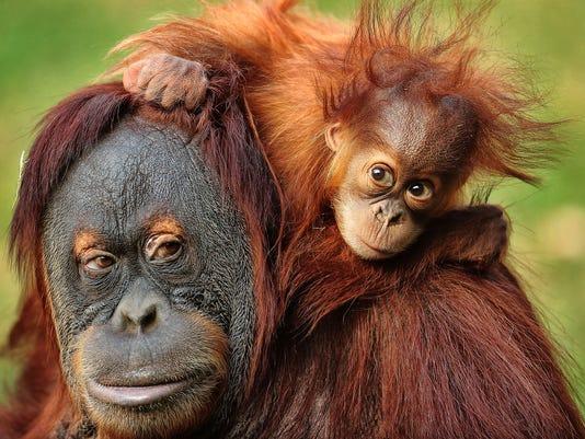 Image result for baby orangutans