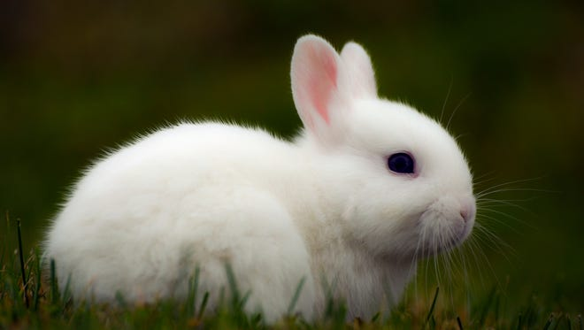 An example of a bunny. (Getty Images/iStockphoto)