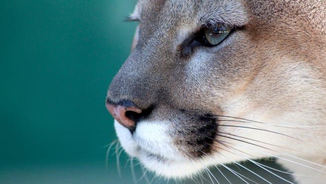 An example of a Florida panther.