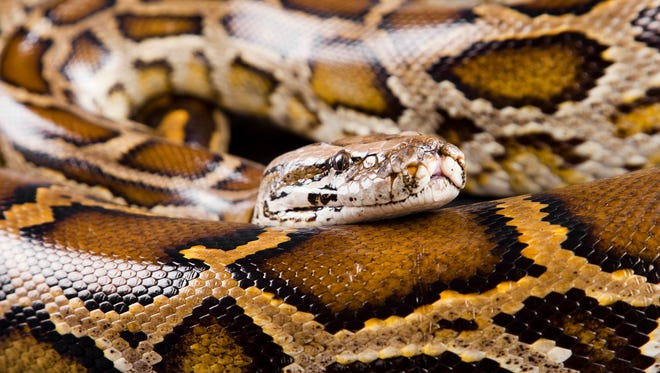 An example of a Burmese python.