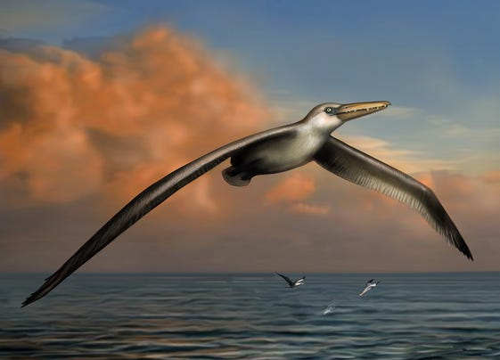 Pelagornis Flight